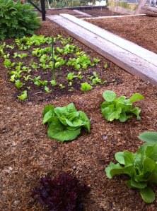 lettuce_03202013