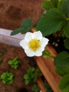 strawberryFlower_03202013