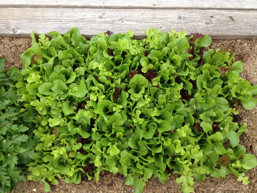 fresh baby greens in garden