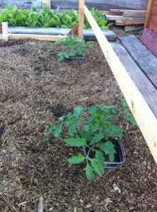 growing tomatoes via it's jou life - http://wp.me/p3cljj-8U