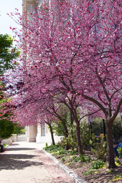 cherry blossoms via it's jou life http://wp.me/p3cljj-ad